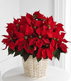 Lg Red Poinsettia Basket